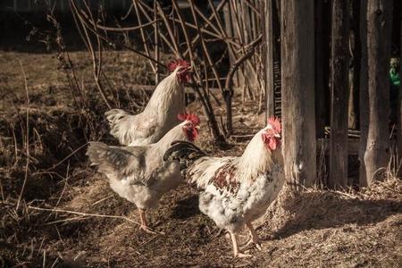 Pollos que se alimentan de mejillones. ¿No nos estamos volviendo locos?