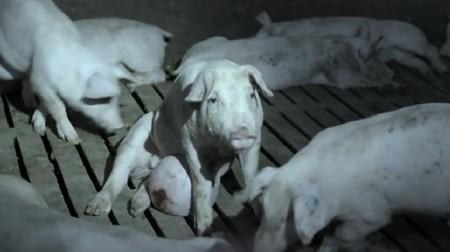 """La industria niega la mayor: """"Es imposible que usemos animales como los mostrados en Salvados"""""""