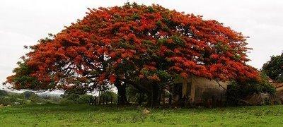 El Rojísimo Flamboyant El árbol De Cuento De Hadas