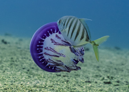 Behaviour Runner Up Jellyfish Sampaio