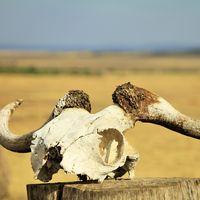 """Las muertes de vacas, renos o rinocerontes no es un misterio: son las consecuencias de una maldición, la """"de los animales grandes"""""""