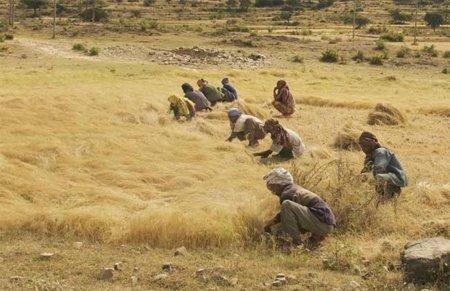 El teff, una alternativa a los cereales integrales tradicionales