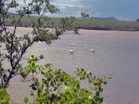 Flamingos Floreana