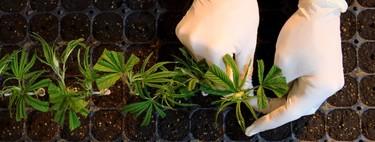 EEUU aprueba el primer medicamento derivado de la marihuana: se usará en la epilepsia infantil