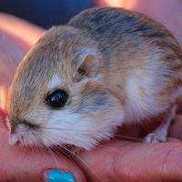 Tuvieron que pasar 32 años para que volviéramos a ver en México a esta rata canguro que ya dábamos por extinta