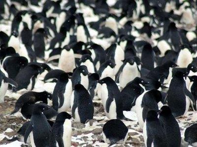 Gracias a un dron se descubre una colonia desconocida de 1,5 millones de pingüinos
