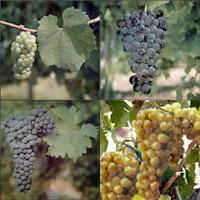 ¿El vino en peligro por el cambio climático?
