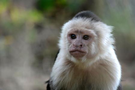 Un grupo de capuchinos panameños está entrando en la 'edad de piedra' en vivo y en directo