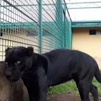 En el Estado de México aseguraron un león africano y un jaguar por no comprobar su procedencia legal