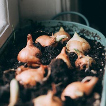 Cómo sembrar cebolla en maceta en casa de la manera más fácil y económica