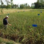 Un jesuita inventó un método para cultivar arroz que enfrenta a los científicos, pero podría producir más y contaminar menos