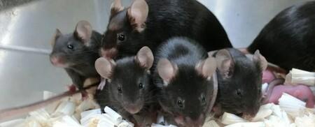 Este esperma de ratón se mantuvo liofilizado en el espacio y, seis años después, ha servido para concebir nuevos ratones