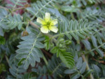 Tribulus, un suplemento natural.