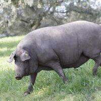 Compra un cerdo ibérico entero desde 835 euros: invierte hoy y recibe carne y embutido más barato