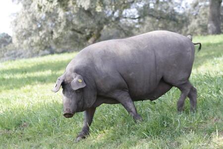 Comprar un cerdo ibérico entero desde 835 euros: invertir hoy para recibir carne y embutido más barato
