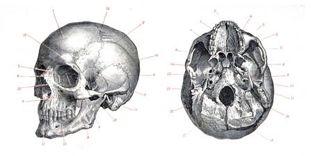 Skull Homo Sapiens