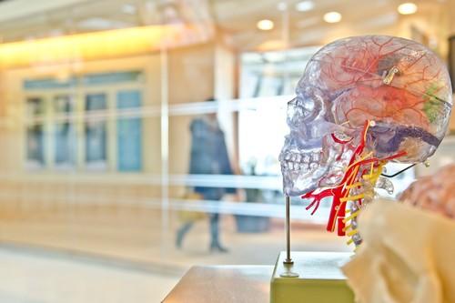 Los adultos generan tantas neuronas como los jóvenes, y otros mitos del cerebro que la ciencia ha desmentido