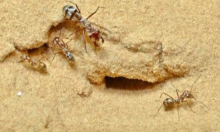 Las Usain Bolt del desierto: descubren unas hormigas plateadas que dan zancadas 10 veces más rápido que el corredor jamaicano