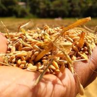 Tecnología espacial al servicio del trigo: ésta es la idea de la ESA para que no se eche a perder hasta un 20% de grano al año