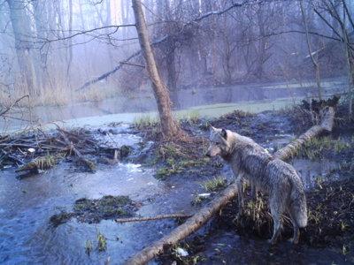 El accidente de Chernóbil ha creado un paraíso natural de animales radioactivos