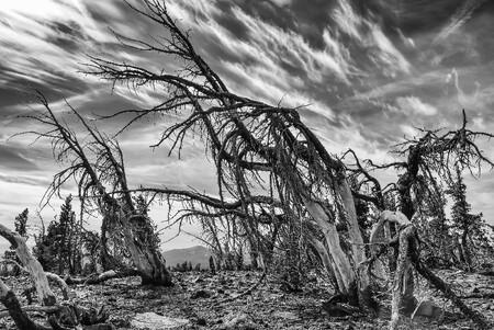 Silver C Robert Nowak Whitebark Pines