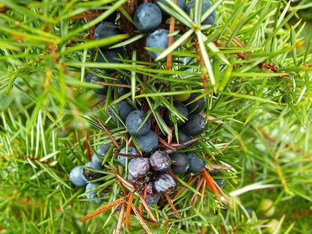 640px-juniperus_communis_stara_planina.jpg