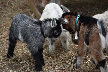 Los balidos de las cabras transmiten emociones que las otras cabras saben interpretar