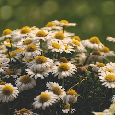 Cómo plantar manzanilla en un huerto en casa: consejos para hacerla sobrevivir y aprovechar sus beneficios para la salud
