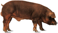 La raza Duroc, su origen y usos en la cría de cerdos en España