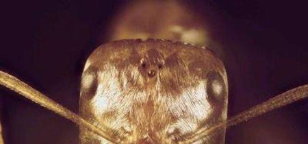 Este insecto es capaz de sobrevivir a temperaturas de 70 ºC