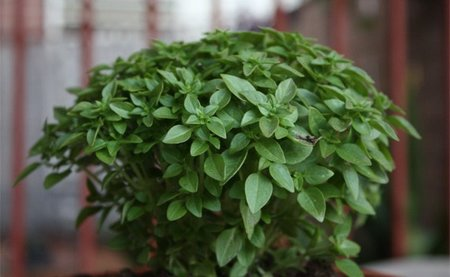 Las hierbas aromáticas se pueden congelar sin perder sus propiedades
