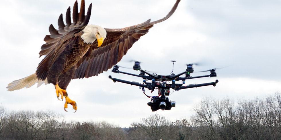 La policía holandesa está entrenando águilas para abatir drones, lo vemos en vídeo