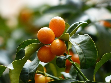 Kumquats 357894 1280