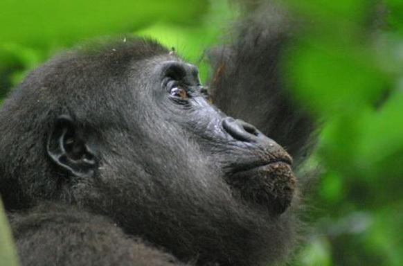 Gorilas del Congo