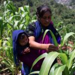 Para salvaguardar el maíz orgánico de Chiapas cultivado de forma agroecológica, mujeres dirigen un sistema de milpa