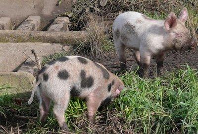 Cómo llamar a un cerdo