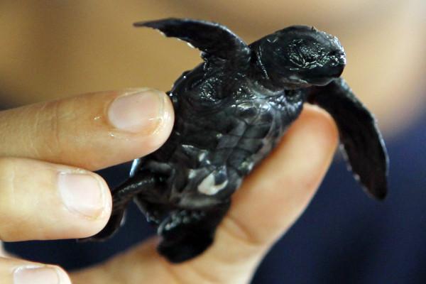 [Vídeo] Reaparecen especies de tortuga carey en el golfo de Fonseca