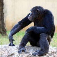 Los niños de tres años controlan sus impulsos como lo hacen los chimpancés