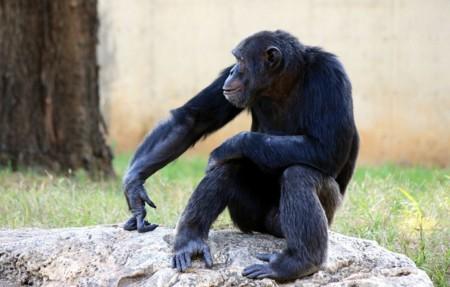 Chimpanzee 88993 960 720