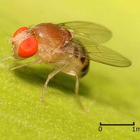 Bajo la influencia del alcohol, las moscas también son sexualmente parecidas a los humanos