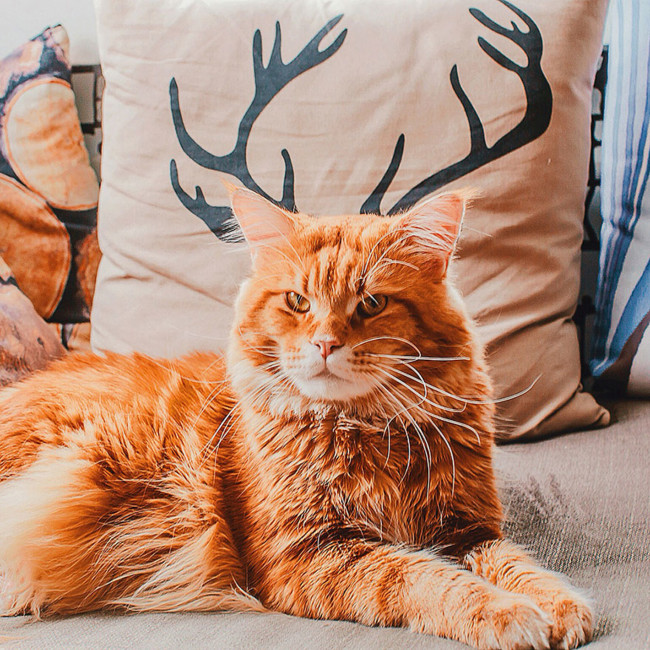 Ginger Cat Photography Kotleta Cutlet Kristina Makeeva Hobopeeba 19