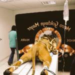 Cazadores de fakes: no, el rugido del león de la MGM no se grabó así