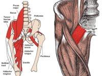El pectineo, un músculo valioso de la pierna