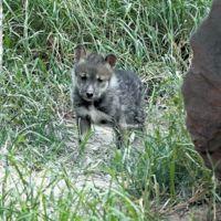 Nace cachorro de lobo mexicano en el Museo del Desierto