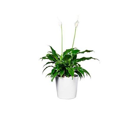 Planta Maceta Blanca