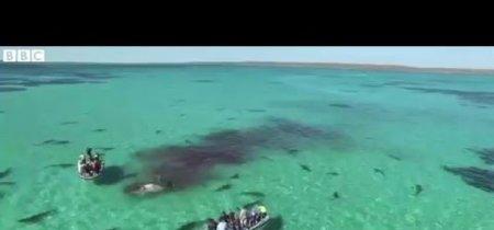 Naturaleza a vista de dron: tiburones atacando a una ballena
