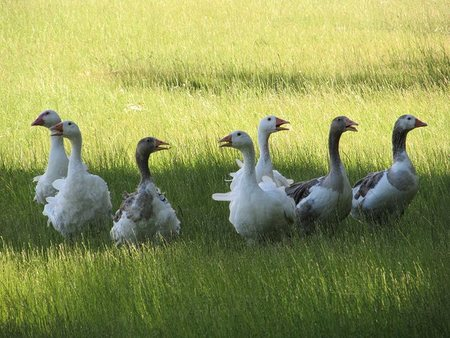 Gansos felices + producción ecológica = foie-gras de calidad