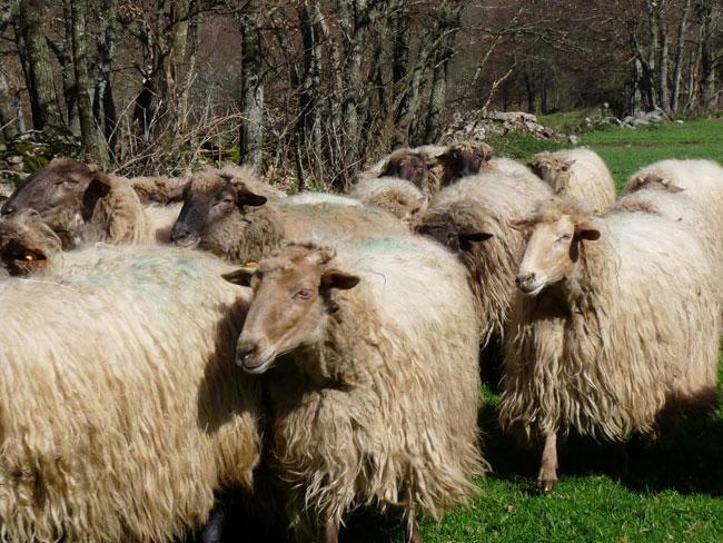 Un rebaño de ovejas