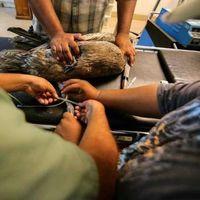 Varios pelícanos han colapsado en Mexicali, Baja California, por el calor extremo que azota a México
