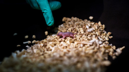 This Image Shows A Bipaternal Mouse Pup Born To Two Fathers 1 Credit Leyun Wang 1024x576